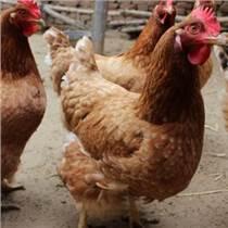 提高肉鸡品质的肉鸡饲料添加剂     就选择优农康微