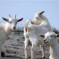 肉羊育肥方法有哪些 试试优农康微生态