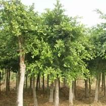 巴南跳石香樟樹小葉榕大量供應