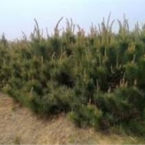 2米油松+2米油松價格=2米占地油松多少錢