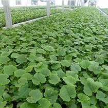 莱山出售甜瓜种苗 热销绿宝甜瓜苗品种
