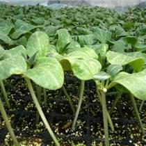 兗州代育黃瓜苗廠品種 黃瓜苗越冬