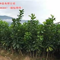贵州哪家三红蜜柚苗批发最好,正达蜜柚苗基地