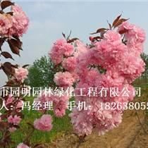 云南14公分【樱花苗子】价格