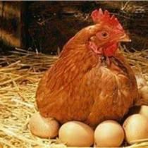 哪一种蛋鸡增蛋剂好用推荐您试试优农康微生态饲料添加剂
