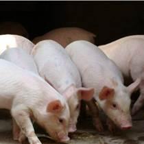 如何知道育肥猪饲料配比配合使用优农康微生态饲料添加剂