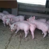 还在找猪怎样增肥的方法优农康微生态饲料添加剂为您解密