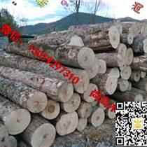 尚高木業長期供應楓木原木新伐大徑材,木材緊密紋理均勻