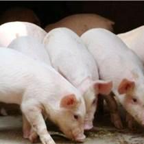 怎样育肥猪增肥    优农康微生态很有效