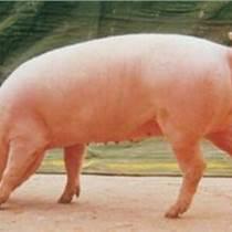 给猪增肥的饲料有哪些    优农康微生态就有这样的作