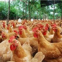 肉鸡怎么催肥   用优农康微生态饲料添加剂