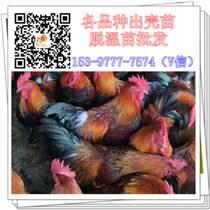 重庆乌皮鸡苗供应公司玉米