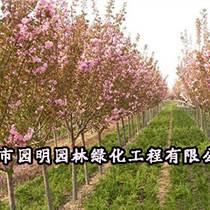 銀川20公分櫻花樹售價