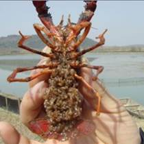 冬季可以投放小龙虾种苗吗 冬季小龙虾种苗价格