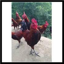合水鸡苗价格行情鸡肉