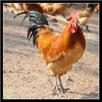 廣元土雞苗多少錢一只紅羽