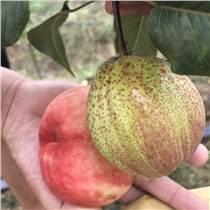 梨树苗品种 玉露香梨树苗价格
