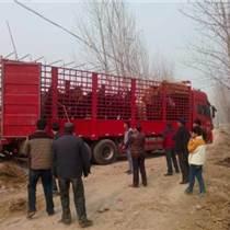 贵州省黔东南鲁西黄牛养殖厂家出售