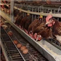请问使用蛋鸡饲料添加剂会不会有副作用