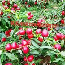 大量供應山東油桃