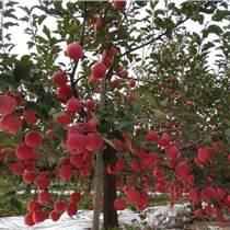 山西蘋果苗培植基地