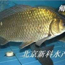 放生鯽魚苗批發 鯉魚苗 泥鰍魚