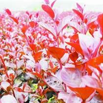 江西红叶紫薇苗木生产基地日本红叶紫薇美国红叶紫薇树苗