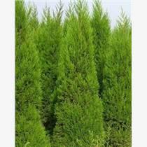 供甘肃绿化荒山苗木和陇南荒山绿化苗木