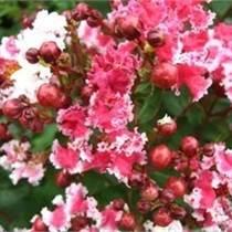 红叶复花矮紫薇 红叶红花紫薇 江西紫薇基地