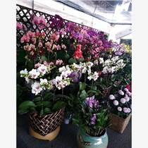年宵花卉价格 年宵花卉图片 年宵花卉有哪些 秀春供