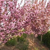 江苏哪里卖5公分樱花树