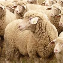 羔羊精料补充料羔羊开口料厂家直销招代理