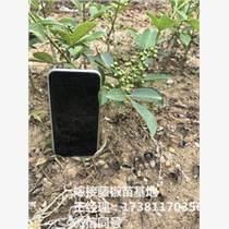 九叶青花椒苗 奉节花椒苗基地 青花椒的种植利益
