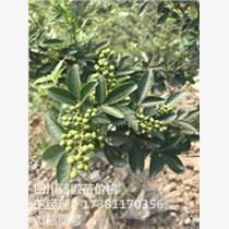 九叶青花椒苗 石柱花椒苗基地 青花椒的种植利益