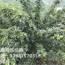 九叶青花椒苗 云阳花椒苗基地 青花椒的种植利益