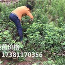 九叶青花椒苗 巫山花椒苗基地 青花椒的种植利益