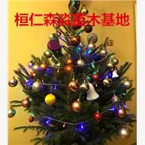 云杉圣誕樹 云杉盆景 遼寧云杉基地