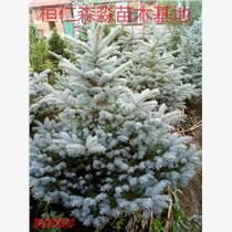 美國藍杉小苗 遼寧藍杉種植基地 藍杉苗價格