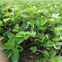 江蘇大棚草莓苗的種植基地電話