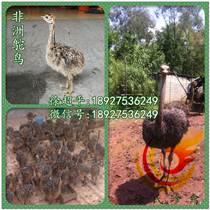 婁底鴕鳥苗-冷水江-漣源-雙峰非洲鴕鳥養殖利潤高