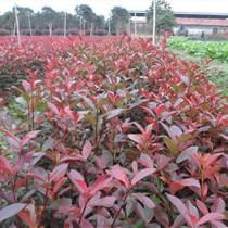 紅葉石楠袋苗哪里有都是什么規格