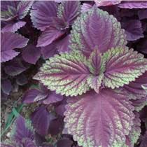 紫苏叶、紫苏籽提取物10:1   可代加工固体饮料