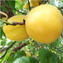 杏樹苗品種香杏樹苗批發 個大脆甜豐產