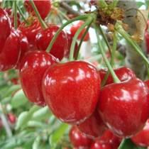 湖南哪里种植批发大樱桃价格最低