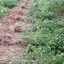 河陰 優質軟籽石榴苗 突尼斯軟籽石榴苗