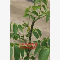 核桃樹早實品種當年栽植當年見果優質冠核核桃苗