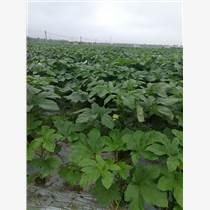 細長濃綠的水果秋葵種子日本原裝進口