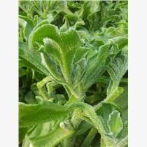 保健蔬菜 非洲冰草種子