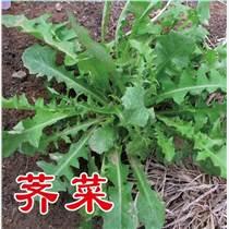 優質野菜種子濟南批發 大葉薺菜種子