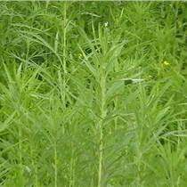 降壓菜,減肥草,柳蒿種苗,質優價廉成活率高